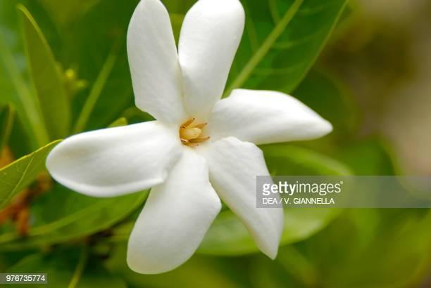 Tahitian gardenia or Tiare flower Rubiaceae Maupiti island Society Islands French Polynesia