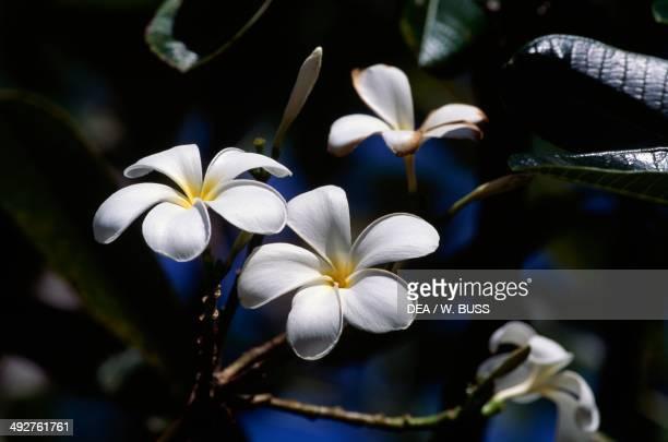 Tahitian Gardenia or Tiare Flower Rubiaceae
