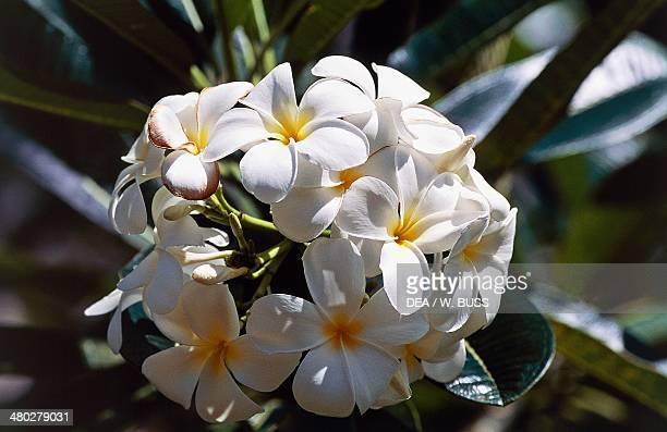 Tahitian gardenia or Tiare' flower Rubiaceae Tahiti French Polynesia