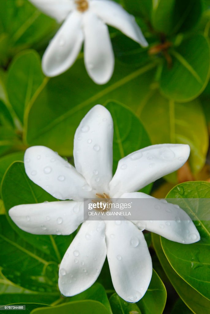 Tahitian Gardenia Or Tiare Flower Rubiaceae Pictures Getty Images