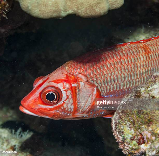 tahitian squirrelfish (sargocentron tiere) lurking in a coral reef; kona, island of hawaii, hawaii, united states of america - squirrel fish stock photos and pictures
