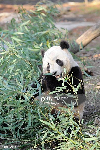 Tai Shan eats bamboo at the National Zoo on January 27 in Washington DC TaiShan born to adult pandas Mei Xiang and Tian Tian is heading back to China...