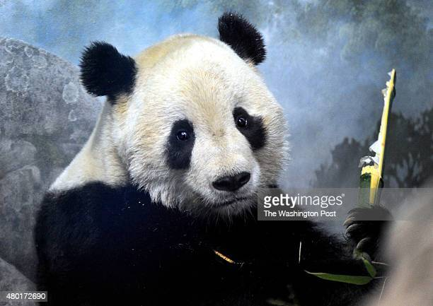 Tai Shan the National Zoo's giant panda who is 4 1/2 years old will depart for China February 4 StaffPhoto imported to Merlin on Thu Jan 28 170912...