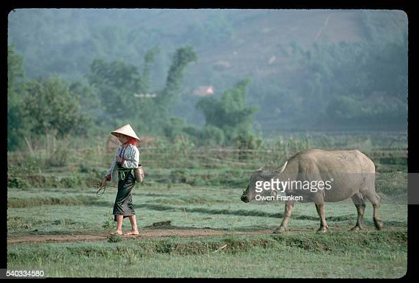 tai woman leading water buffalo - son la province stock pictures, royalty-free photos & images