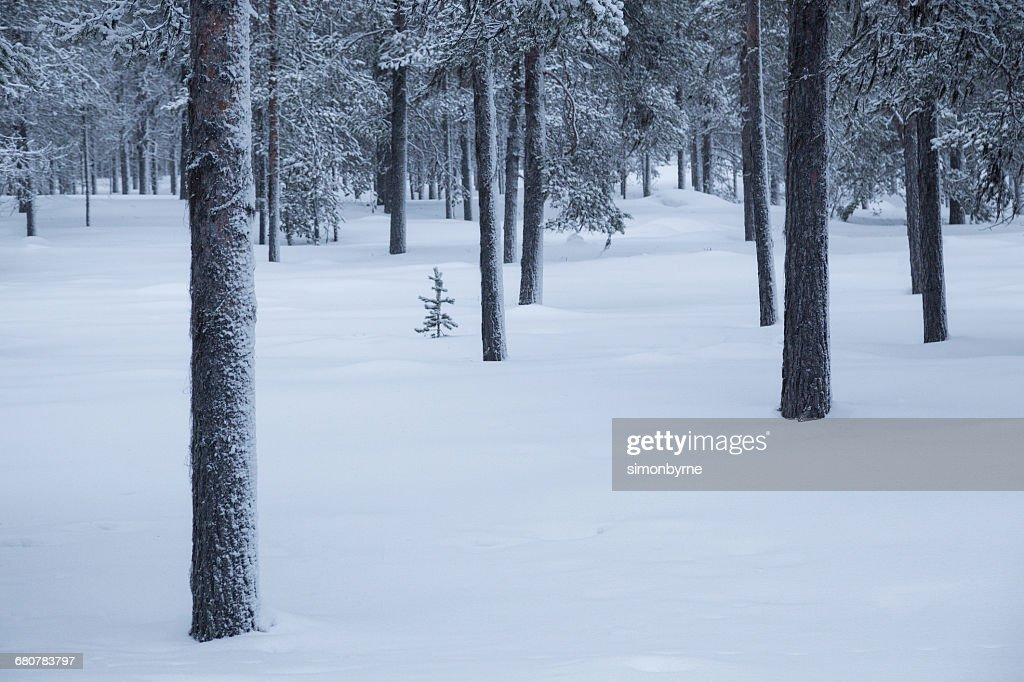 Taiga forest in snow, Finland : Stock Photo
