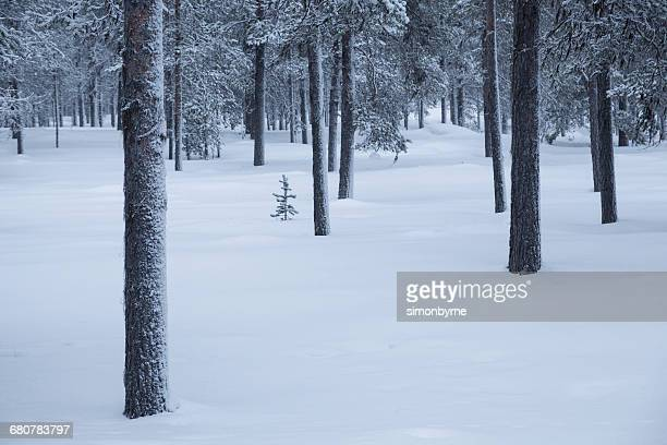Taiga forest in snow, Finland