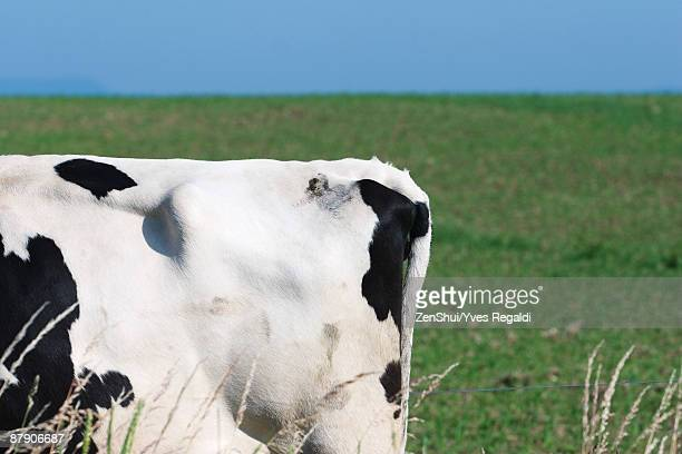 Tail end of cow in pasture