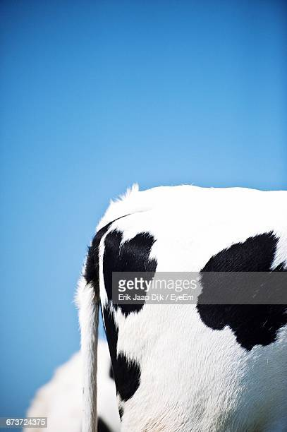Tail End Of Cow