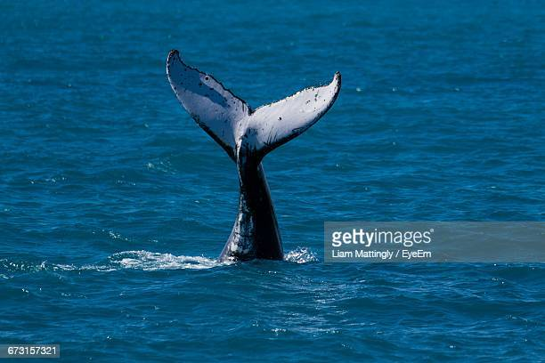 Tail Fin Of Whale Swimming In Sea