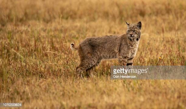 tail flip - lynx stock photos and pictures