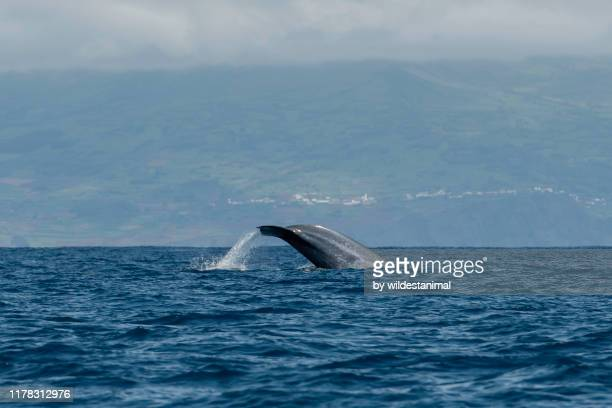 tail fluke of a blue whale as it dives, atlantic ocean, pico island, the azores, portugal. - blue whale stock pictures, royalty-free photos & images