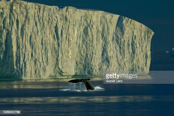 tail of a diving humpback whale (megaptera novaeangliae) in front of an iceberg, disko bay, ilulissat, west greenland, greenland, arctic - ilulissat stock-fotos und bilder