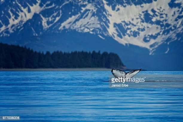 Tail of humpback whale (Megaptera novaeangliae) above water, Juneau, Alaska, USA