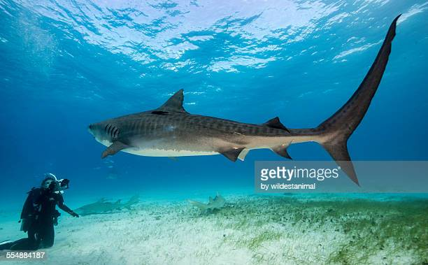 tail of the tiger - requin tigre photos et images de collection