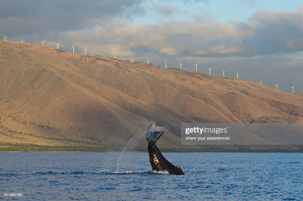 Tail Slapping Baby Humpback Whale : Stock Photo