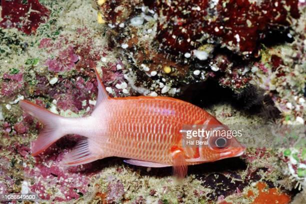 taildpot squirrelfish - squirrel fish stockfoto's en -beelden