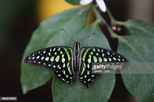 A Tailed Jay butterfly is pictured during a photocall for the Sensational Butterflies exhbition at the Natural History Museum in London on March 30...