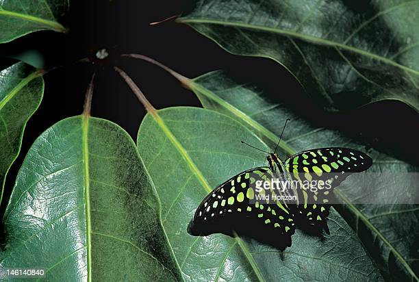 Tailed jay butterfly resting on a Schefflera leaf, Graphium agamemnon, Native to Southeast Asia and Australia, Victoria Butterfly Gardens, Vancouver...