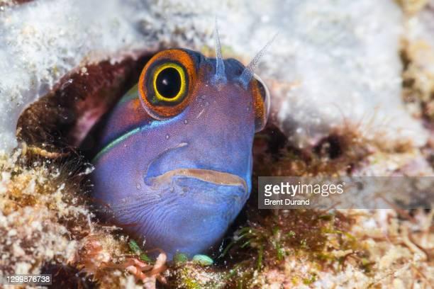 tailspot blenny (ecsenius stigmatura) - animal head stock pictures, royalty-free photos & images
