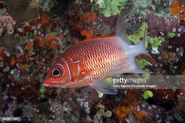 tailspot squirrelfish (sargocentron caudimaculatum), beqa lagoon, fiji. - squirrel fish stock photos and pictures