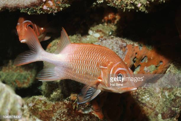 tailspot squirrelfish - squirrel fish 個照片及圖片檔