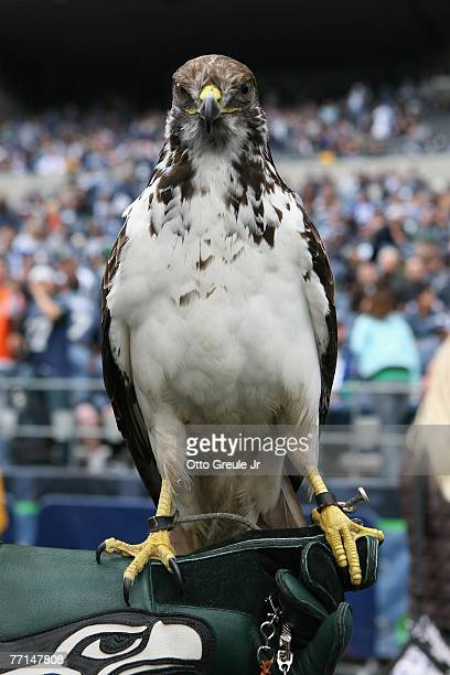 Taima an augur hawk is shown on the field before the Cincinnati Bengals game against the Seattle Seahawks at Qwest Field on September 23 2007 in...
