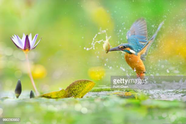 taipei,taiwan - kingfisher stock pictures, royalty-free photos & images