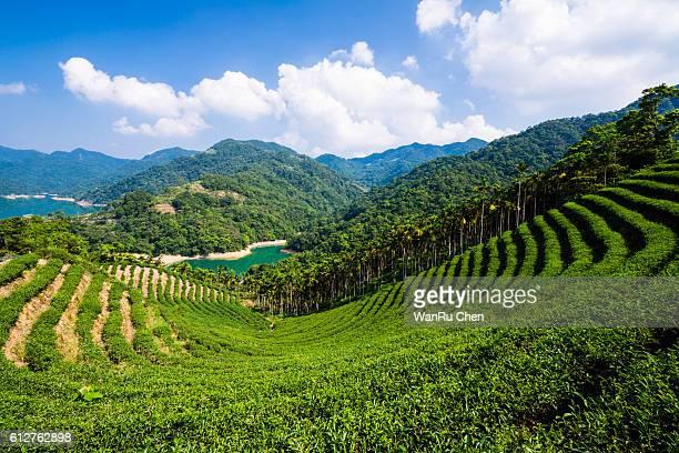 Taiwan Tea garden beauty scenery