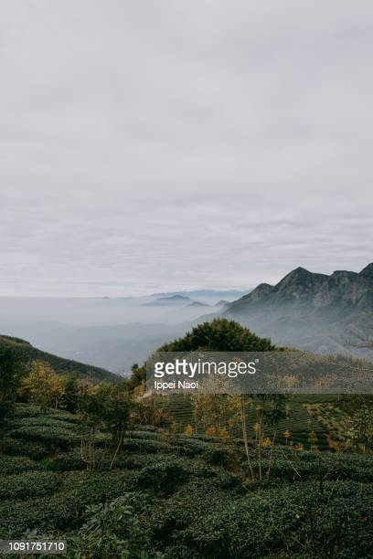 Taiwanese tea plantation and foggy mountains