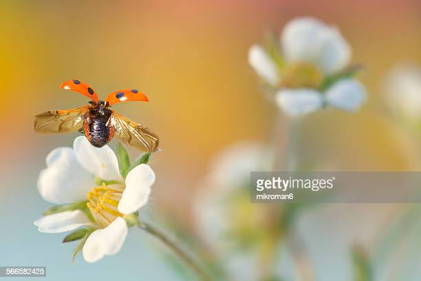 take off - seven spot ladybird stock pictures, royalty-free photos & images