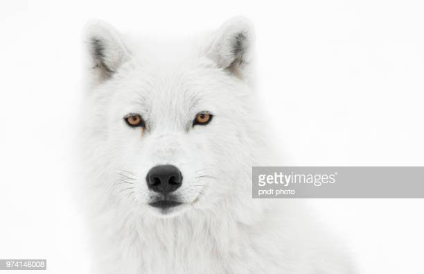 take the pose - arctic wolf stock photos and pictures