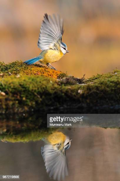 takeoff - eastern bluebird stock pictures, royalty-free photos & images