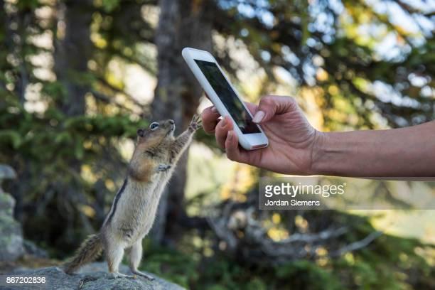 taking a photo of a chipmunk - wildnis stock-fotos und bilder