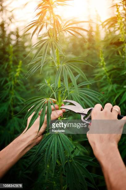 taking care of cannabis plant - hemp stock pictures, royalty-free photos & images