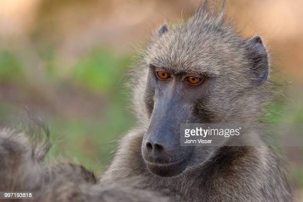 taking care of the important things in life - chacma baboon stock photos and pictures