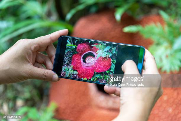 taking photo of rafflesia flower with smart phone - biggest stock pictures, royalty-free photos & images