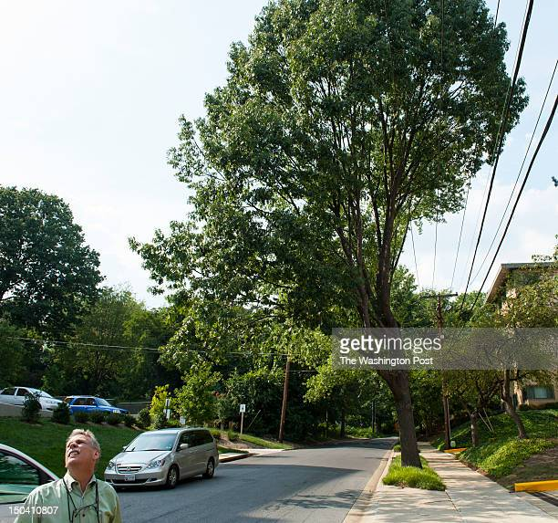 Takoma Park arborist Todd Bolton looks up at trees on Ritchie Ave on August 9 2012 in Takoma Park Md The red oak tree to the right is an example of a...