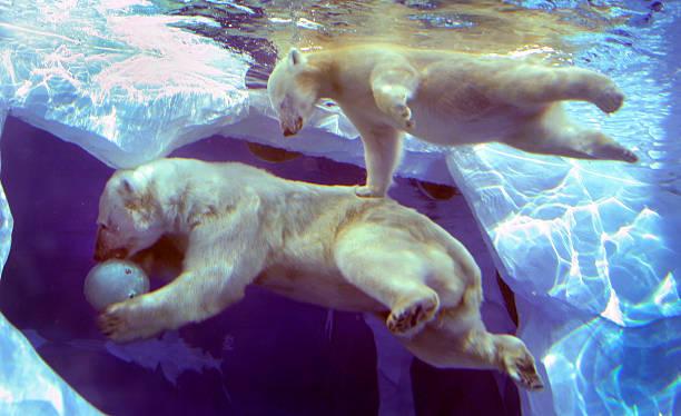 Polar Bear Cub Learns To Swim