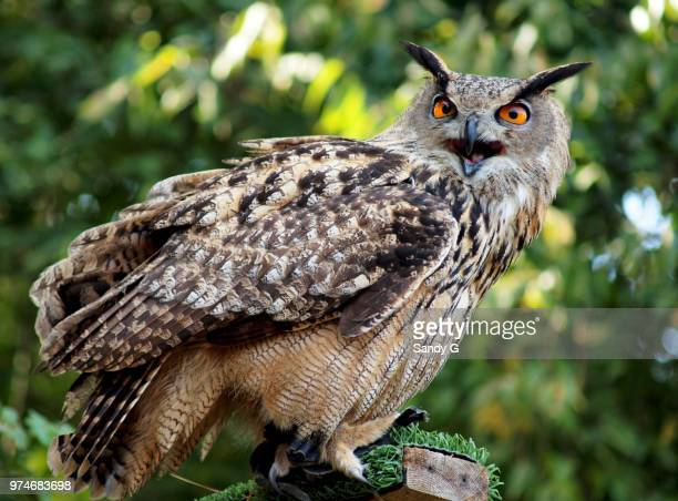 Talkative owl