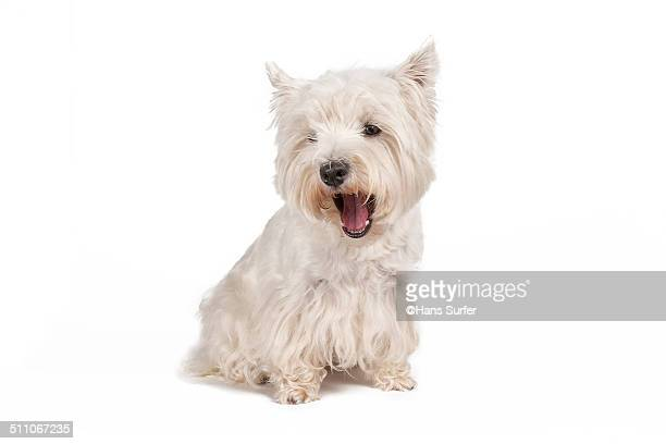 Talking West Highland White Terrier!