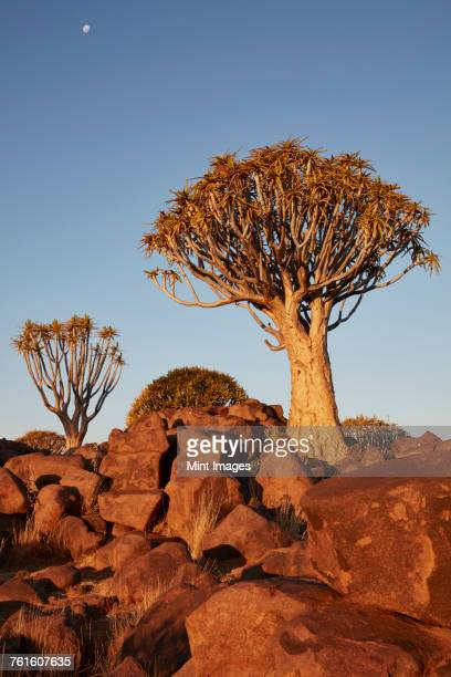 Tall African Baobab trees, Quiver trees, Adansonia at sunset in the rocky landscape at Keetmanshoop.