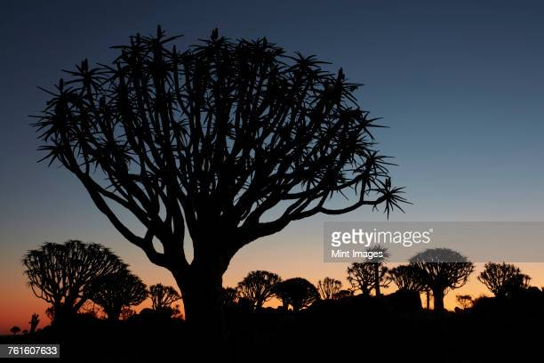 Tall African Baobab trees, Quiver trees, Adansonia, silhouettes at dusk at Keetmanshoop.