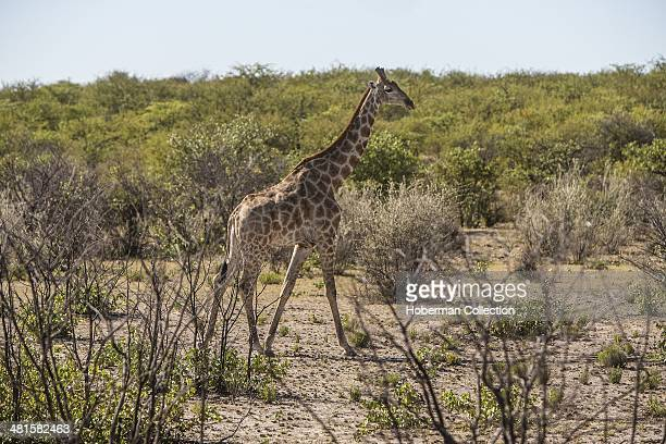 Tall African Giraffe Standing Amonst The Trees And Vegetation At Etosha National Park In Namibia