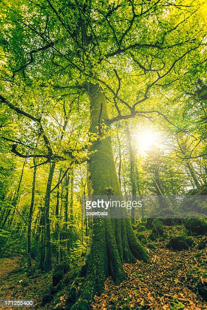 Tall Beech Tree in the Forest