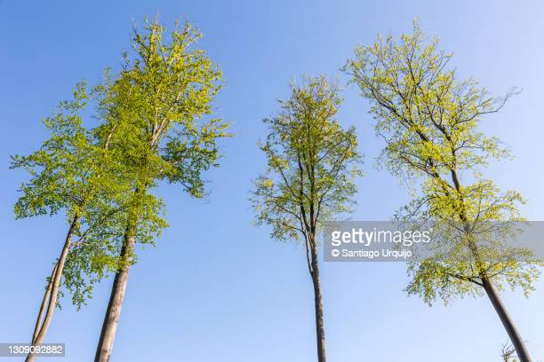 tall beech trees in springtime - small group of objects stock pictures, royalty-free photos & images