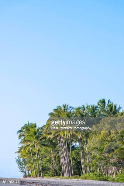 Tall Coconut Palm Trees