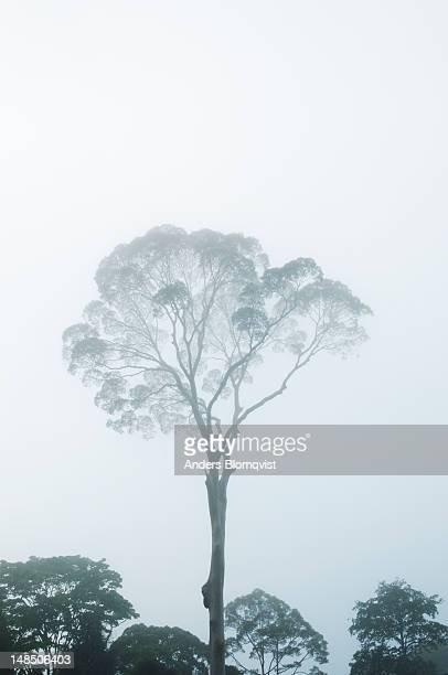 tall dipterocarp tree in morning mist in rainforest. - dipterocarp tree stock pictures, royalty-free photos & images