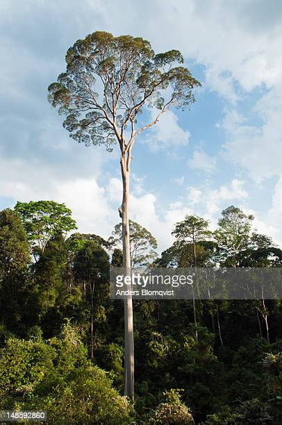 tall dipterocarp tree in rainforest. - dipterocarp tree stock pictures, royalty-free photos & images