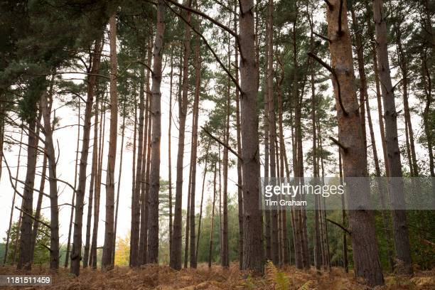 Tall European Larch trees in coniferous forest in autumn Suffolk England United Kingdom