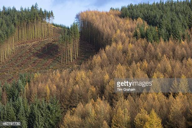 Tall European Larch trees Larix decidua in Fall color cultivated in coniferous forest plantation for logging timber production in the Brecon Beacons...